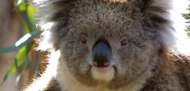 Tourism Victoria - Koala