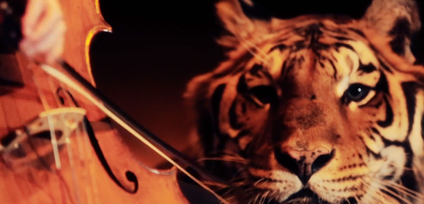 cellist plays with tiger