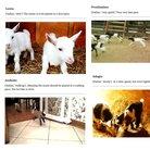 Baby goat music