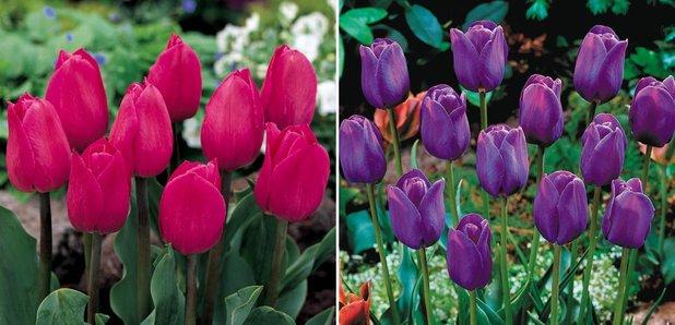 CFM Gardening Tulips